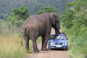 Selv elefanterne kommer til at savne den lille Citi Golf - se snabel nr. 2. (foto - cherryflava.com)