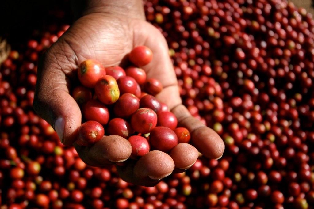 Sådan ser kaffebærrene ud lige efter plukning.